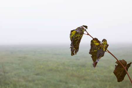 Yellow autumn leaves on the background of a field in the fog 스톡 콘텐츠