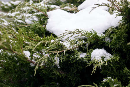 Snow on green branches of an evergreen bush