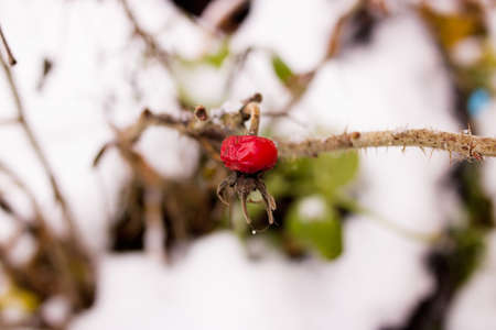 One red rosehip among the snow close up