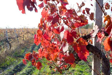 Colorful autumn vineyard after harvest
