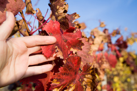 Closeup hand in the leaves of grapes against a blue sky in autumn