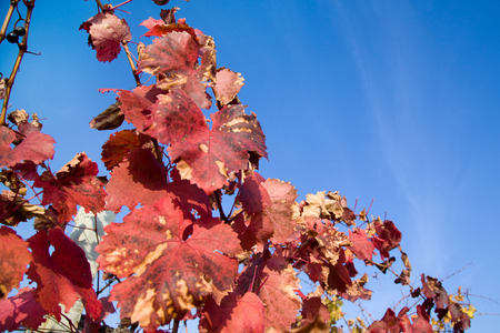 Grape leaves in autumn on a background of the sky