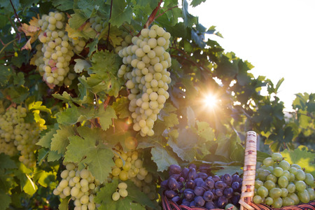 Basket with grapes in the sunlight in the garden of the grape Stock Photo