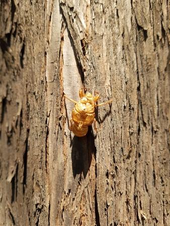 Molt of cicada on tree