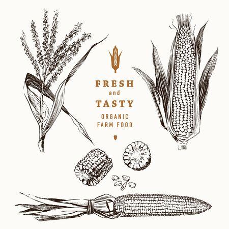 Set di design vintage pannocchie di mais. Mais botanico. Illustrazione vettoriale. Granoturco Vettoriali