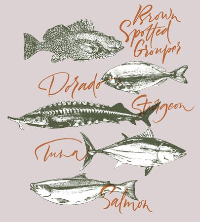 Three delicates fish. Tuna, salmon, brown spotted grouper, sturgeon, dorado. Hand drawn with brush and ink delicious meal  vector illustration Vettoriali