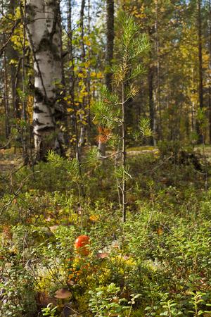 taiga: Taiga forest in autumn Stock Photo