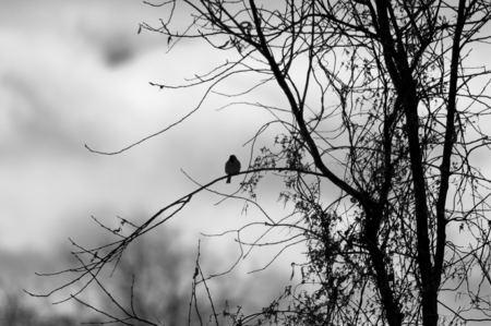 black feathered: Bird on the branches of a tree, silhouette, black and white photo Stock Photo