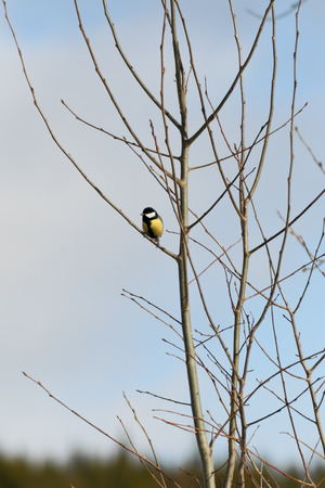 chickadee: Titmouse, chickadee  on the bare branches of a tree