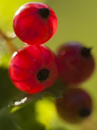 natur: Ripe red currant berries on a green background in the natural environment