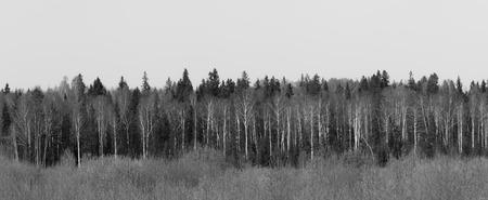 leafless: Panorama of leafless autumn trees. Black and white photo
