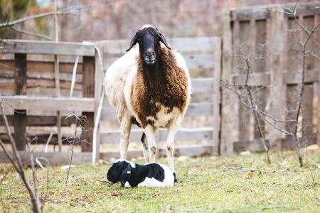 a sheep and a young lamb in spring with a clear blue sky 스톡 콘텐츠 - 139948877