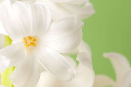 Closeup of a beautiful white hyacinth flower from a flowering spring bulb