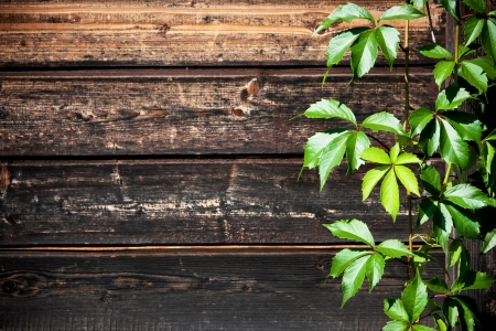 Vine with wild grapes and fresh green foliage growing up against a weathered textured wood background