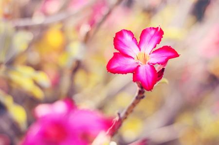 Desert rose plant. Adenium obesum plant. Background with beautiful tropical flower Stock Photo