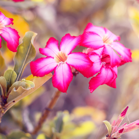 Desert rose flower. Square photo of adenium obesum. Blooming flowers