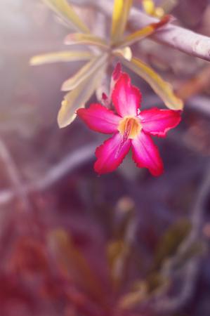 Vertical photo of desert rose plant. Adenium flower. Blooming flower