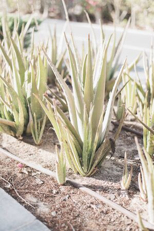 Aloe Vera cultivated outdoors. Evergreen plant used for decorative purposes. Gardening concept