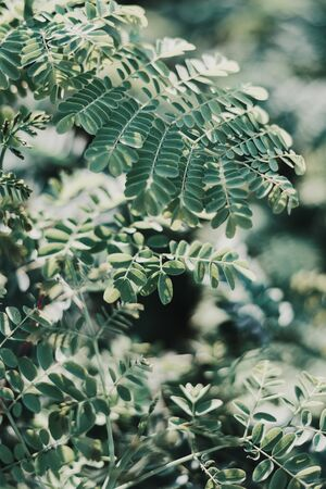 Vertical background with Caesalpinia leaves. Green tropical plant