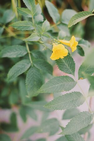 Vertical background with Tecoma plant or Trumpet bush. Shrub with Yellow flowers and green leaves Stok Fotoğraf - 148070247