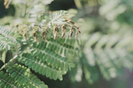 Floral background with Caesalpinia leaves. Green color. Tropical plant