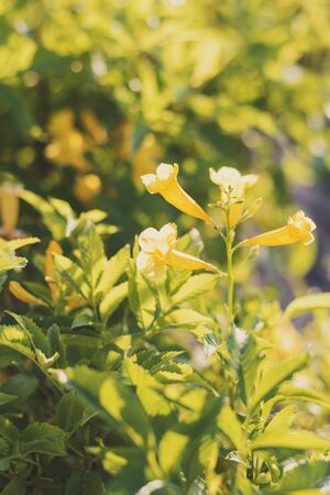 Tecoma Stans or Trumpet bush. Plant with yellow flowers and green leaves captured during blooming season. Summer background Stok Fotoğraf