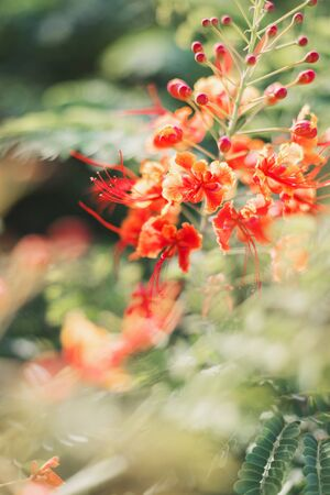 Summer background with Caesalpinia plant with orange flowers. National flower of Caribbean Barbados