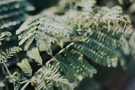 Green leaves of Caesalpinia flower. Green background