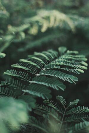 Vertical background with dark green leaves of tropical Caesalpinia plant. Green color. Tropical background