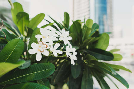 Plumeria or frangipani blooming plant growing in the city. White exotic flower with pleasant fragrance
