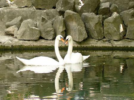 Swans swim in the pond photo