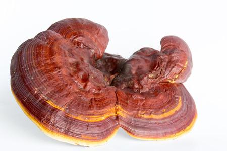 Red Ganoderma Lucidum isolated on white background photo