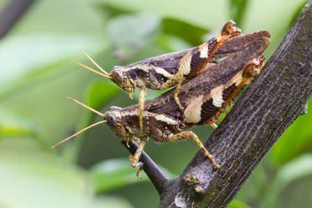 breeding: close up locust breeding on branches