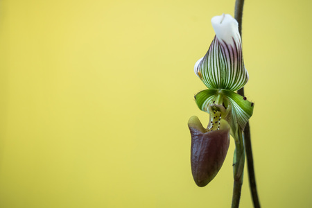 The Orchid close up on Yellowish green background.