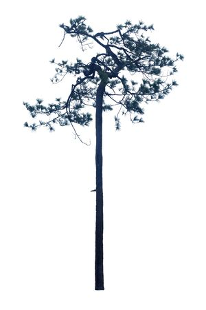 Pinus kesiya is pines in Asia, have a tall stem isolated on a white background.