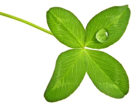 four leaf clover with dew drop  photo