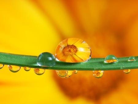 pot marigold flower mirroring inside dew drops  photo