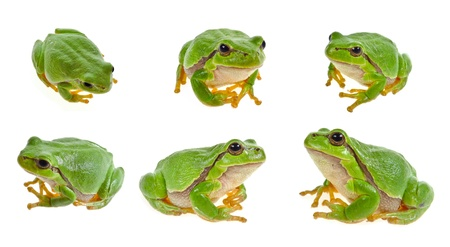 amphibians: tree frog collection