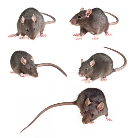 rat collection Stock Photo