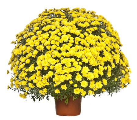chrysanthemum in the flowerpot  photo