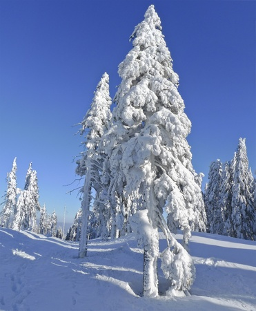 the trees covered with snow: snow covered spruce