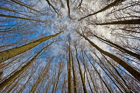 treetops: look up into the treetops  Stock Photo