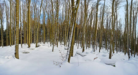 winter forest without leaves panorama photo