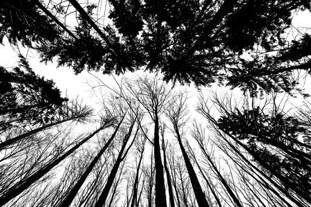 black trees silhouettes on white background photo