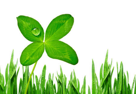 four leaf clover with dew drop in grass Stock Photo - 12326920