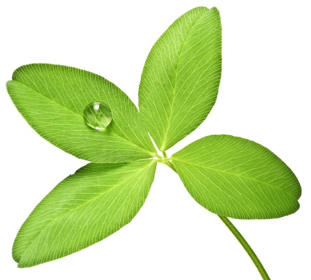 four leaf clover with dew drop Stock Photo - 12326918