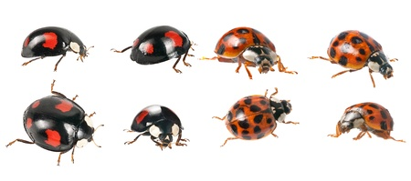 ladybirds  beetle - red and black variety photo