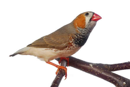 zebra finch Stock Photo - 12653288