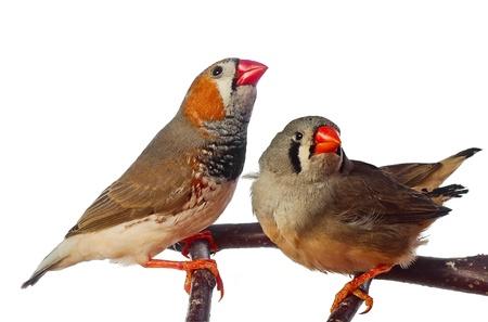 två Sebrafinkar fåglar