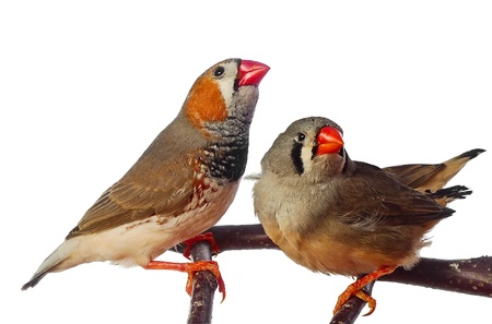 two zebra finch birds photo
